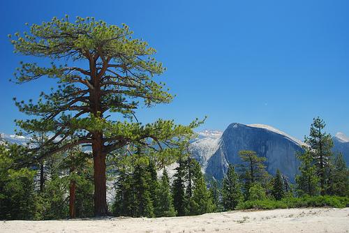 Pinus ponderosa, eitt af gömlu trjánum í Yosomite Park.