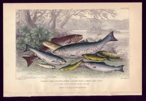 salmon_trout-300x207