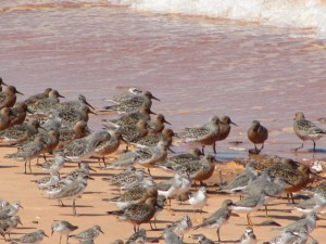 Red-Knot-Terek-Sandpipers-Broad-billed-Sandpipers-etc